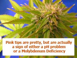 Pink tips on marijuana can be pretty, but are actually a sign of either a pH problem or a Molybdenum Deficiency