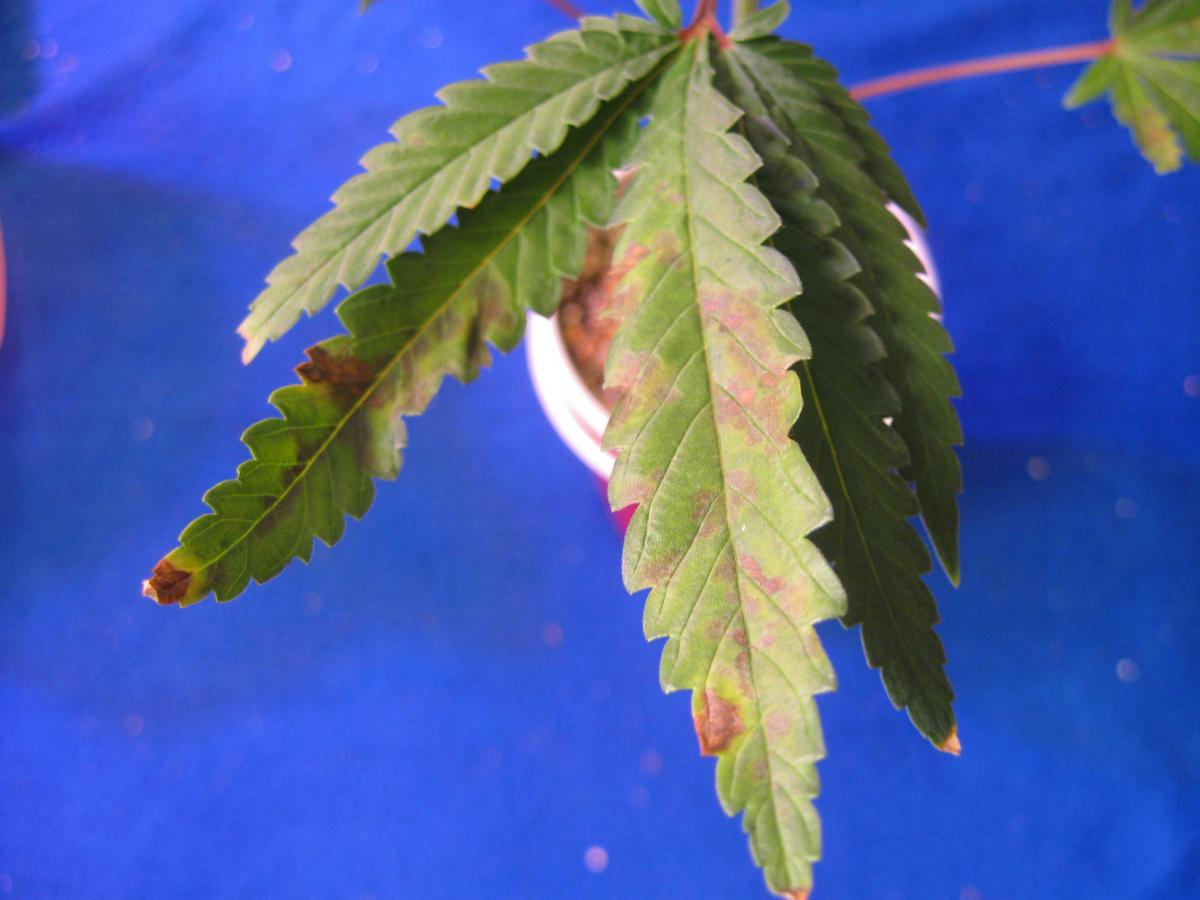 Краснеют листья у конопли конопля туберкулез