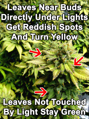 Cannabis phosphorus deficiency in flowering - Leaves near buds directly under lights get reddish splotches and turn yellow. The leaves not touching the light will stay green.