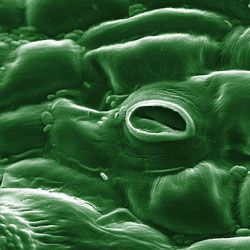 A closup of a stoma (one of many stomata on plant leaves)