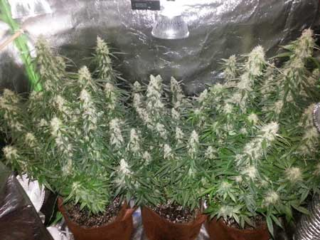 Example of a beautiful cannabis canopy full of buds - these plants were just the right height at harvest