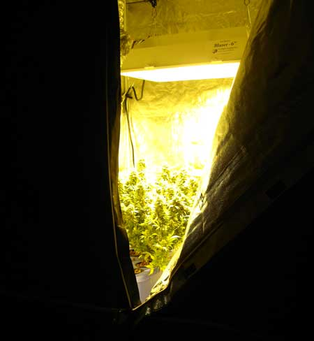 Grow tent with HPS grow light & flowering marijuana plants inside