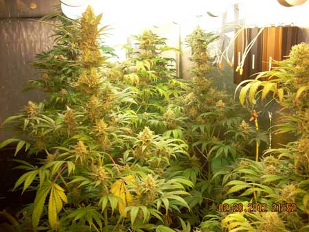 An example of flowering cannabis plants growing under magnetic induction grow lights