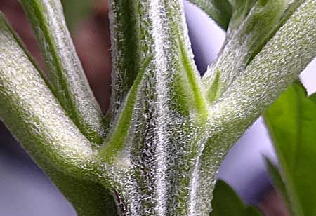 A pointy pre-flower is often a female calyx