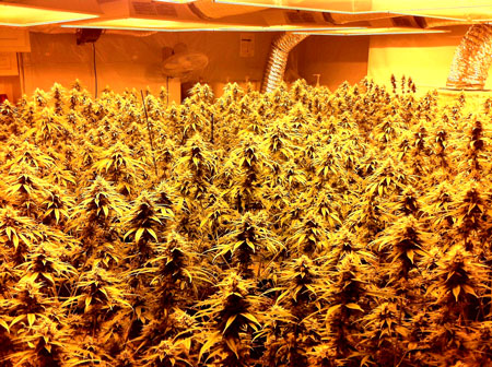 A beautiful ex&le of a cannabis ScrOG grow & Cannabis Growth Control - Topping u0026 More