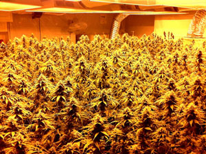 Fim Your Way To Multiple Colas Grow Weed Easy