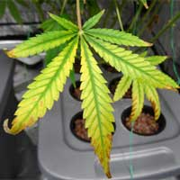 Cannabis Light Burn - Yellow Leaf - GrowWeedEasy.com