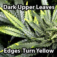Cannabis Copper Deficiency - Dark leaves with yellow tips - GrowWeedEasy.com