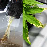 Cannabis Root Rot - GrowWeedEasy.com