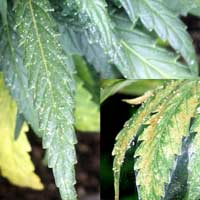 Spidermite webs on cannabis leaves - GrowWeedEasy.com