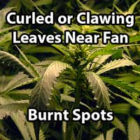 Cannabis Wind Burn (Clawed Leaves & Burnt Spots) - GrowWeedEasy.com