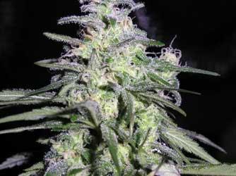 Not Ready to Harvest - Purple Marijuana Buds