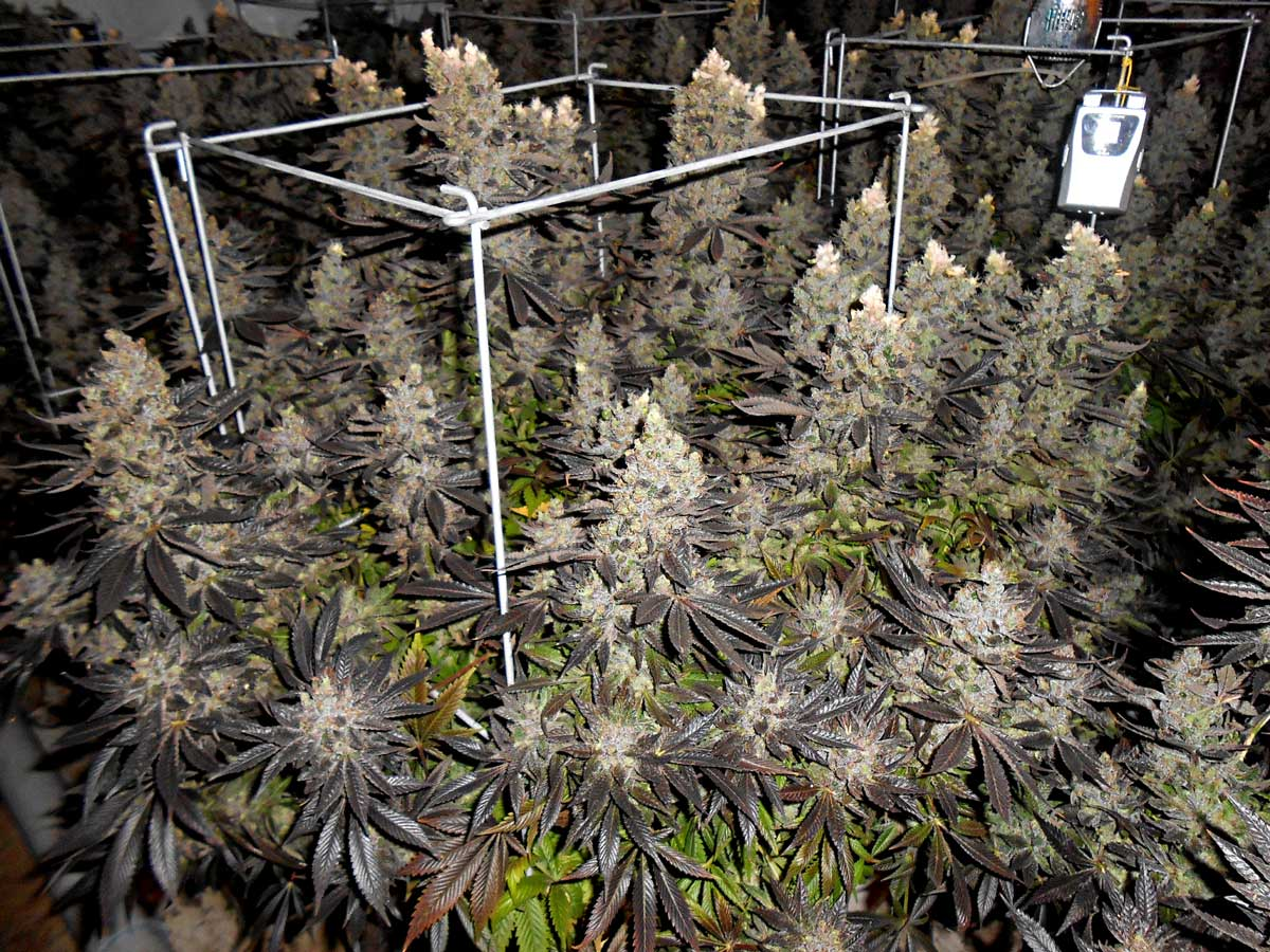 which strain breeders can i trust grow weed easy
