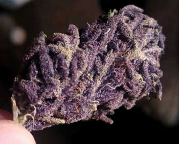 This bud is purple with mostly purple pistils, giving it an incredibly purple appearance!