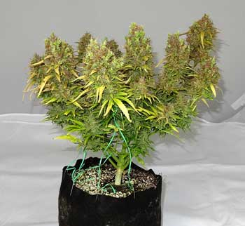 Marijuana plant grown in organic super soil in a smart pot