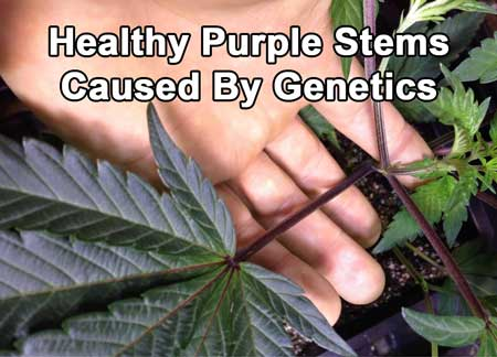 These are healthy purple stems caused by this cannabis plant's genetics