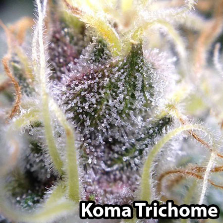 Glitter purple buds with tons of trichomes