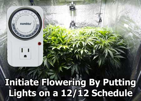 In order to get a cannabis plant to enter the flowering stage and start making buds, a grower needs to use a timer to put the grow lights on a 12/12 light schedule (12 hours light, 12 hours darkness)