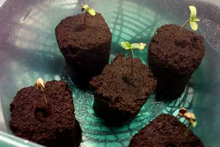 Example of cannabis seedlings that have sprouted in Rapid Rooters