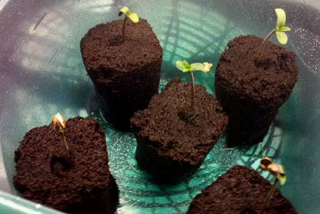 Example of a cute young cannabis seedling