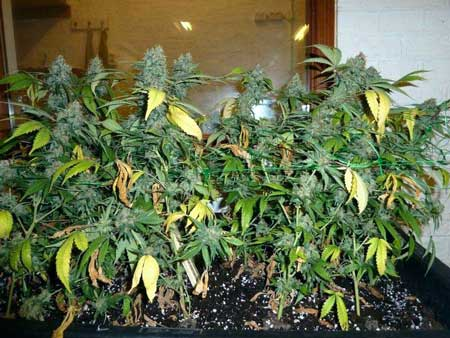 Ready to harvest - this cannabis plant has yellow fan leaves but the sugar leaves and the buds themselves are still green