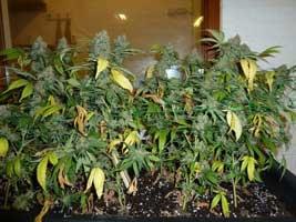 Ready To Harvest Marijuana plant