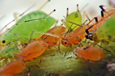 The aphids you see on your cannabis plant may come in different colors depending on their stage of life and where you live.