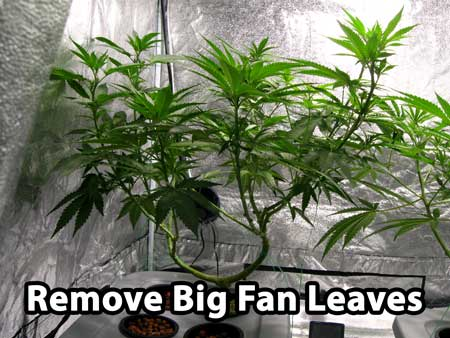 When you manifold cannabis, you want to give it a last cleaning before the switch to flowering stage. You do this by removing the biggest fan leaves, especially the ones on the bottom and middle of plant