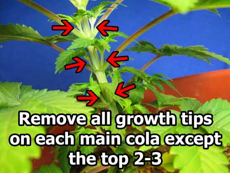 Remove all cannabis growth tips except the top 2-3 on each cola