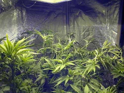 A cannabis garden right after the grower bent all the stems down with gentle LST