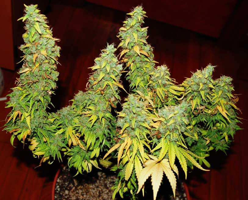 5 ways to increase yields with any strain cannabis grow life these huge buds are continuing to fatten up despite the fact that many of the leaves mightylinksfo