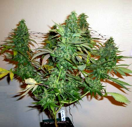 Thick buds on this defoliated cannabis plant