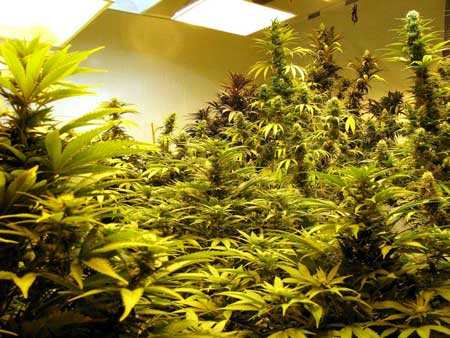 When a room is this full of cannabis plants you won't have enough room to tend to the plants in the back and along the sides opposite the entrance. Sometimes you can't even reach the plants in the middle!