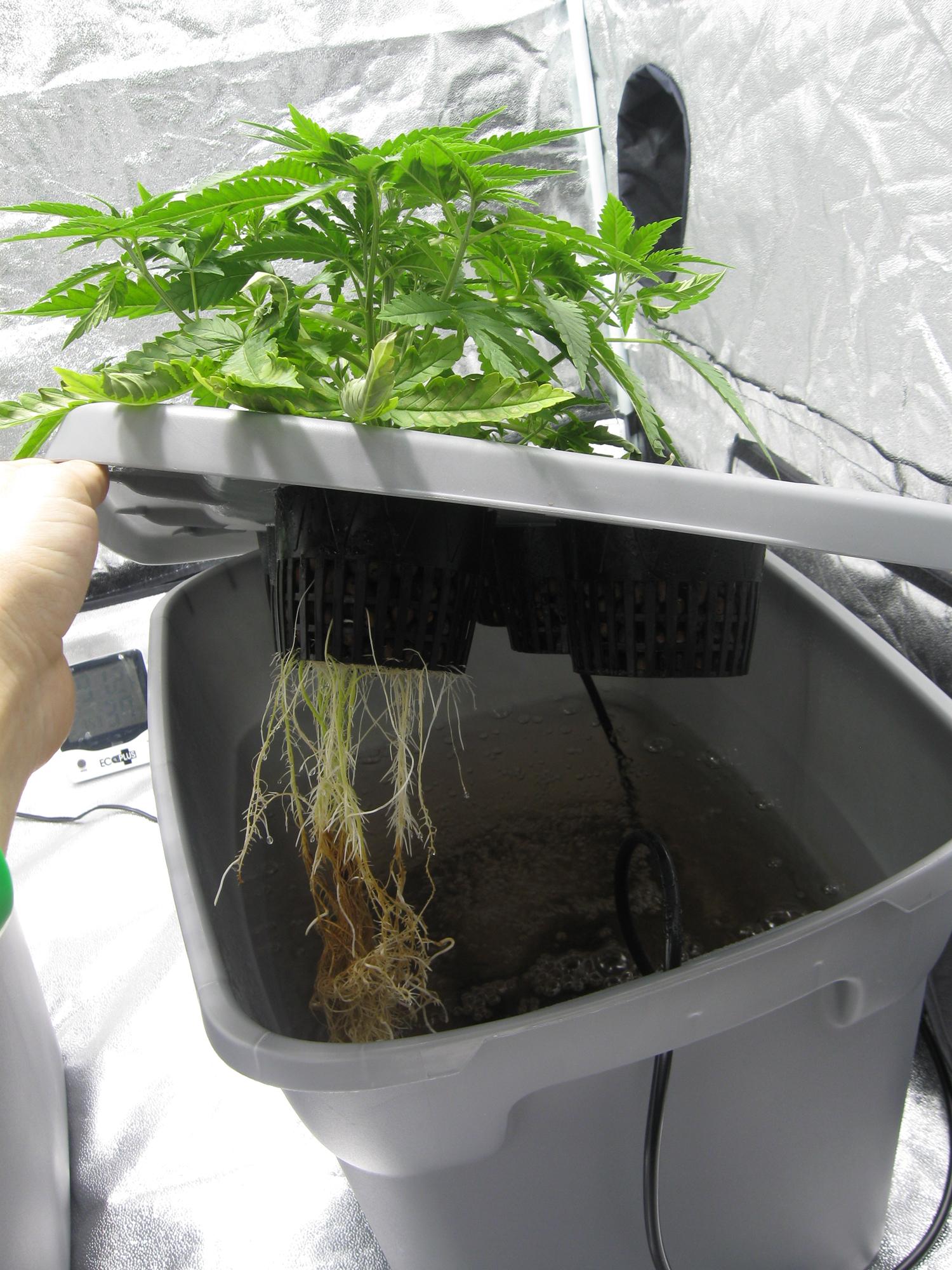 Марихуана на гидропонной установке как показывает тест на марихуану
