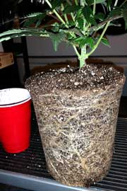 Example of a rootbound cannabis plant - all the roots have wrapped around the outsides of the pot