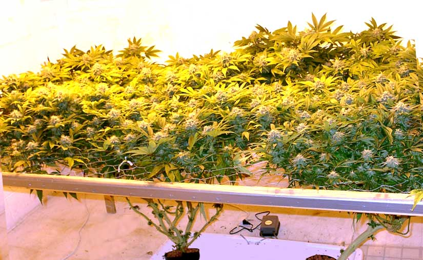 5 Ways to Increase Yields (with any strain) | Grow Weed Easy