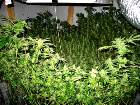 This cannabis grower uses CO2 injection to increase yields