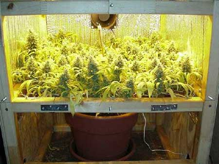 Use Scrog for better yields - this example of ScrOG by LBH from Rollitup.org