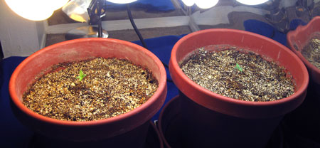 These seedlings are in very large containers, which means they need to be watered far less often.