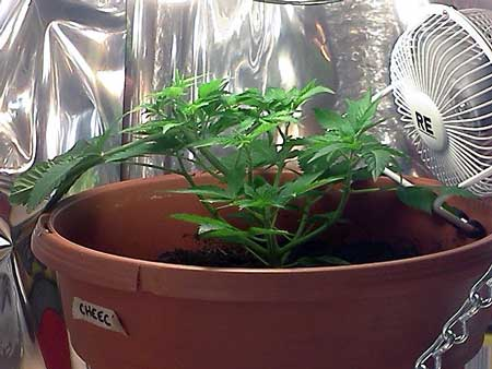 Growing shorter cannabis plants is good for growing with CFLs