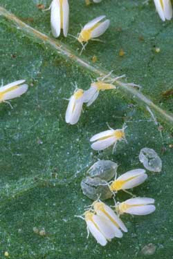 Silver leaf whiteflies and their gross round nymph young. These bugs are pests in the garden and will attack your cannabis plants!