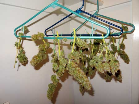 Auto-flowering Sour Diesel buds drying in my closet