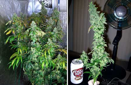 This is a Sour Diesel (by Reserva Privada) plant just before harvest, as well as a closeup of one of the biggest colas!