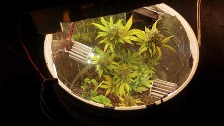 See marijuana plants in a space bucket - click for close up!