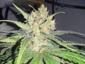 This bud could be harvested now, but it wouldn't reach its maximum size or potency.