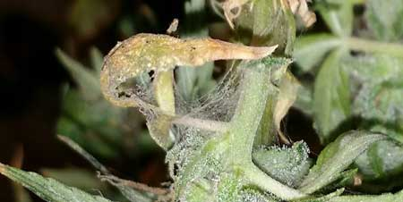 Example of webbing on a cannabis bud caused by spider mites