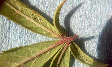 Spider mites and their eggs underneath the leaf of a cannabis plant - get rid of these pests quick!