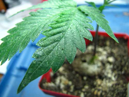 This cannabis leaf shows the first signs of spider mites - click for a closer look!