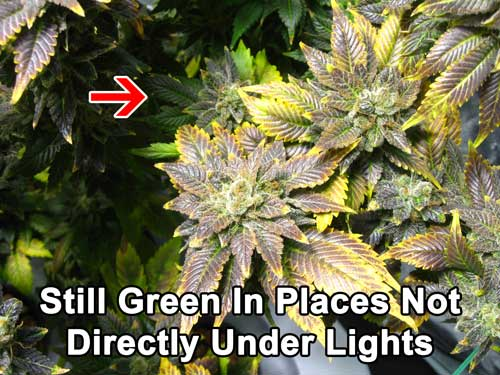 Cannabis phosphorus deficiency in flowering - Leaves that are not near buds or directly under bright light stay green - they usually don't get purple splotches or turn yellow around the edges unless the leaves are under bright light conditions.