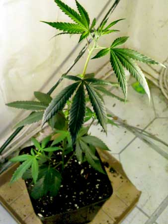 This cannabis plant in the vegetative stage is growing tall because it's not getting enough light